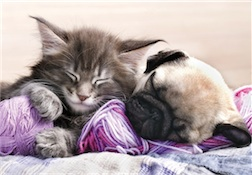 KITTEN MAINE COON AND PUPPY PUG 300 PIECE PUZZLE