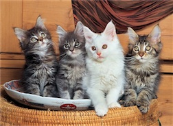 MAINE COON CATS 500 PIECE PUZZLE